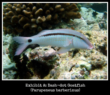 Dash-Dot Goatfish {goatfishgoods.com}